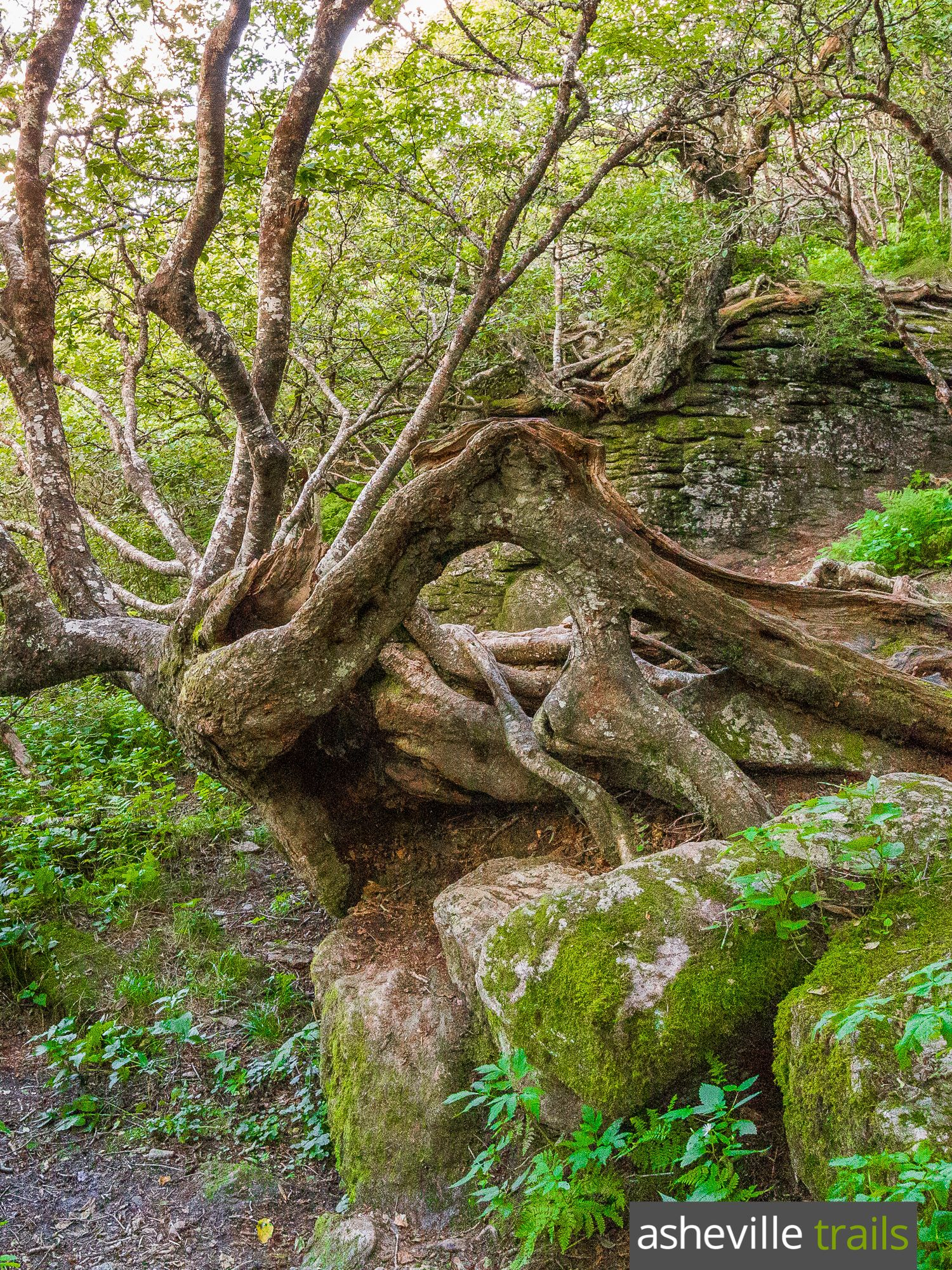 The ecosystem at Craggy Gardens north of Asheville is unique: it\'s a ...