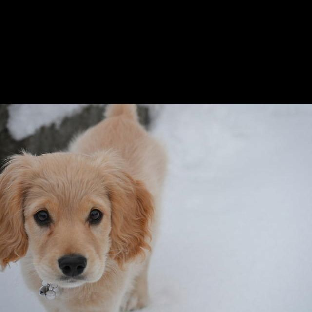 Pin By Kelly Hoffman On Can I Have It Golden Retriever Cocker Spaniel Mix Puppies And Kitties Golden Retriever