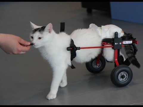 Cat Wheelchair Cats Wheelchair Pets