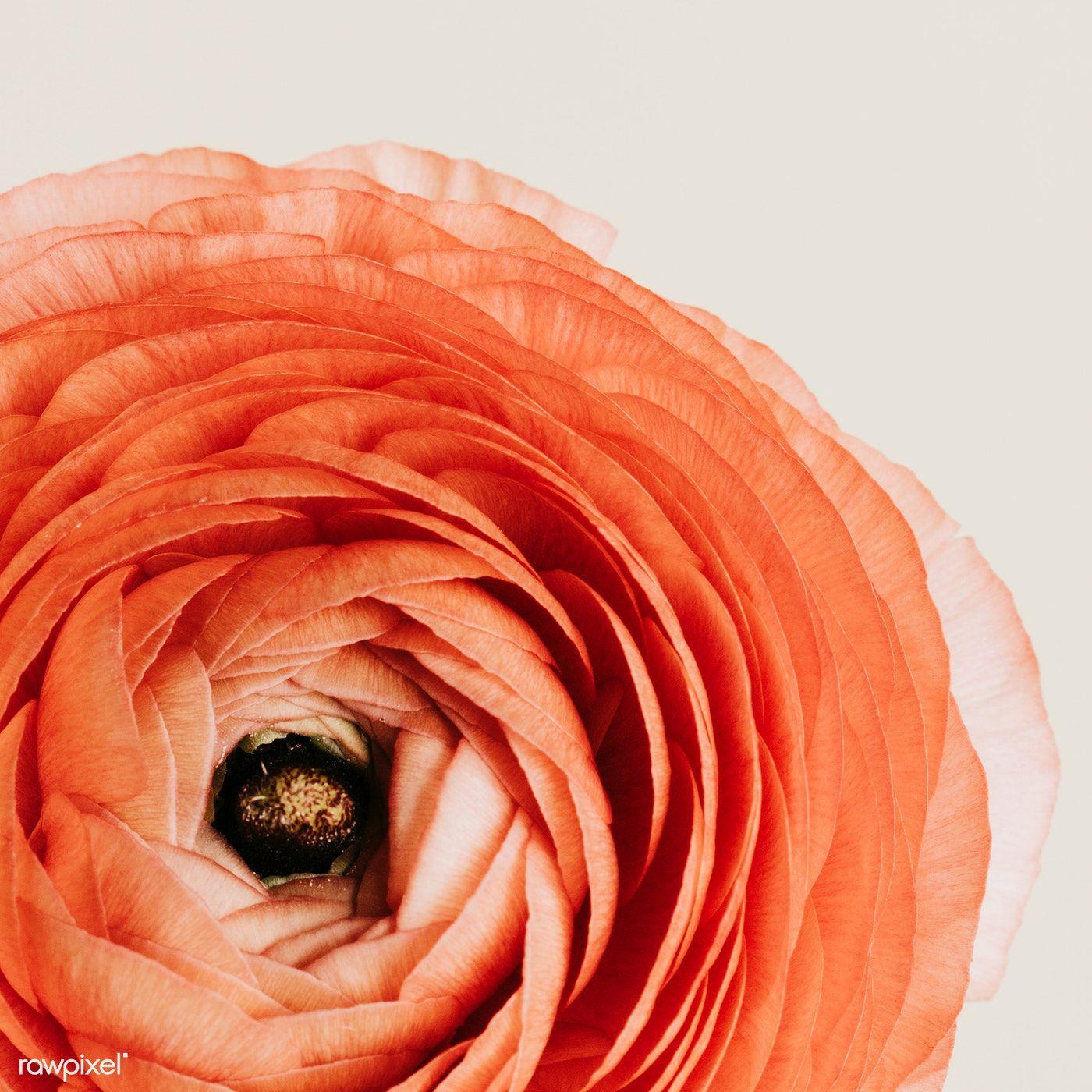 Download Premium Image Of Blooming Pink Ranunculus Flower 2273548 In 2020 Flowers Pink Rose Flower Macro Photography Flowers
