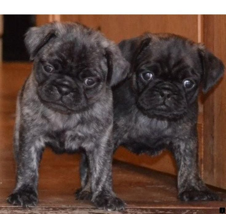 Learn more about pug puppies for sale near me. Just