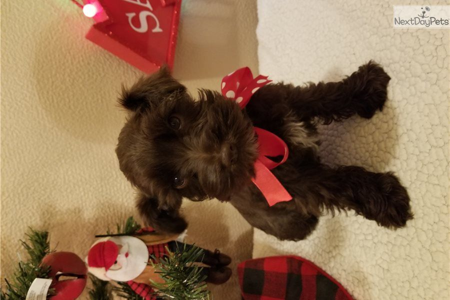 Sofie Schnauzer Miniature Puppy For Sale Near Tyler East Tx Texas A1b000c0 37a1 With Images Miniature Puppies Schnauzer Puppy Miniature Schnauzer Puppies