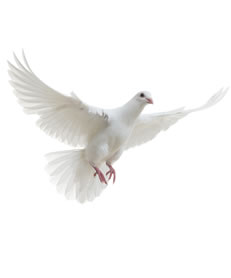 Hlebroking Account Login White Pigeon Pigeon Pictures Black And White Birds