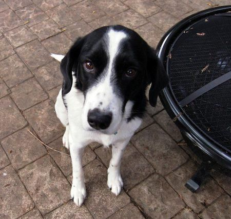 Jack The Spaniel Border Collie Mix Pictures 7850 Cute Dogs