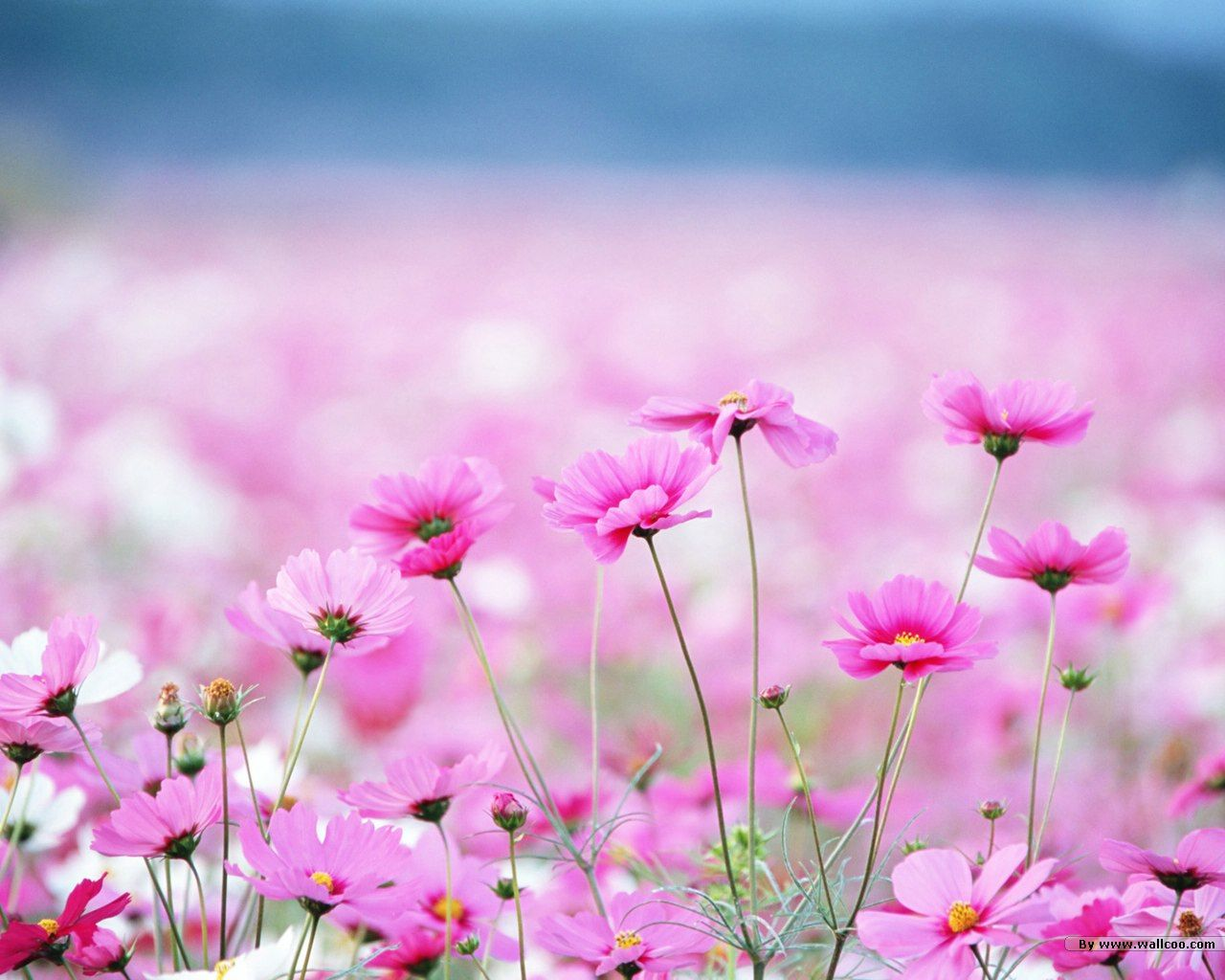 Field Of Flower Pictures Wildflowers Colorful Wild Flowers In