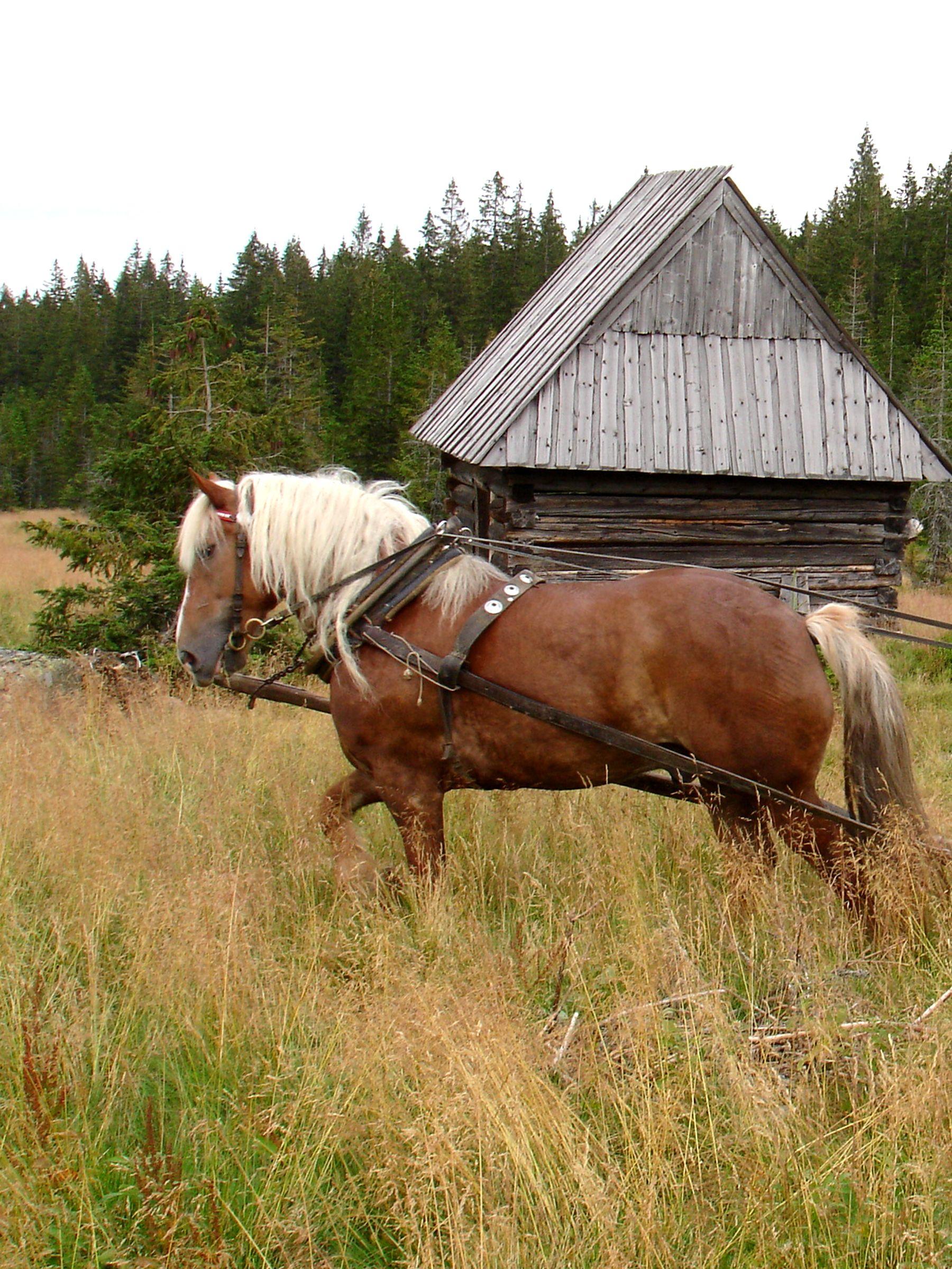 Image detail for -Haflinger Mountain Horse : Photos, Diagrams ...