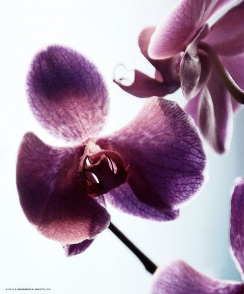 orchidee - phalaenopsis - foto Barbara Parolini