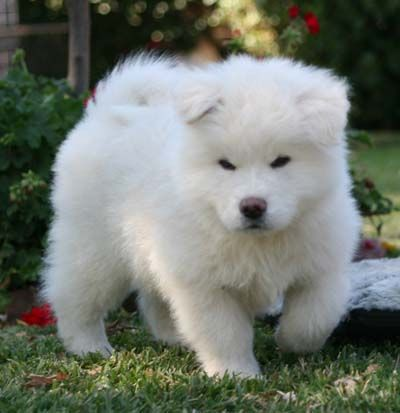 White Japanese Akita Pup Holy Fluffy Puppy I Want It Now With