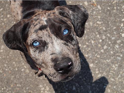 Leopard Puppy Catahoula Leopard Dog Beautiful Blue Eyes Cățeluși