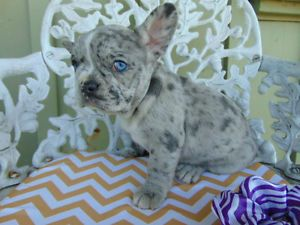 Unique French Bulldog Merle Puppy Doggies Pinterest French