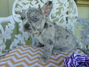 Unique French Bulldog Merle Puppy French Bulldog