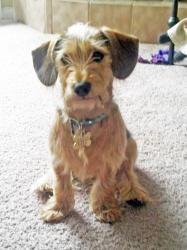 Adopt Callie On Scruffy Dogs Adoptable Dachshund Dog Dogs