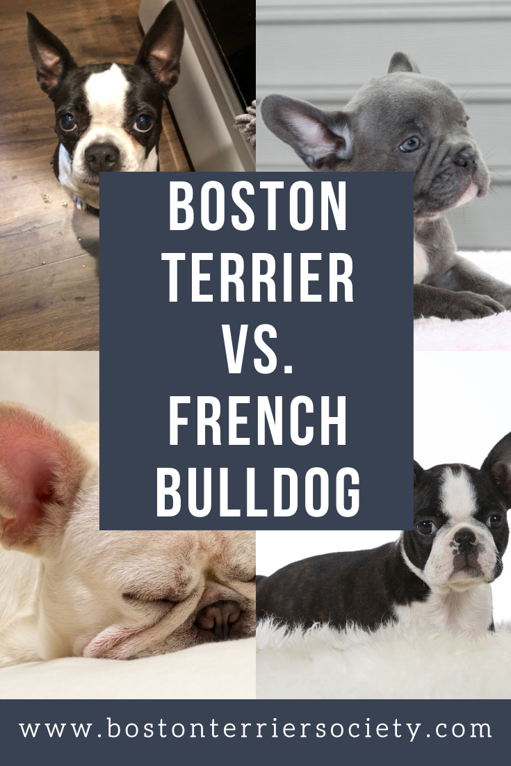 Boston Terrier Vs Frenchie What Is The Difference Terrier Boston Terrier French Bulldog
