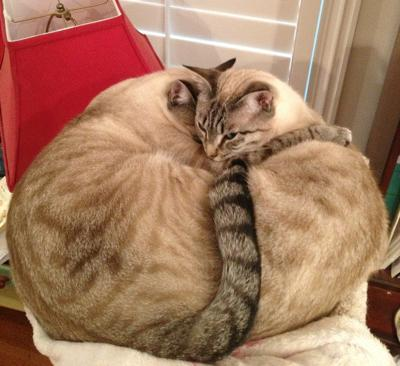 We heart these two Siamese cats, Kittens and puppies