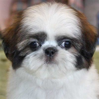 Shih Tzu Puppies For Sale In Florida Happy Healthy Puppies For