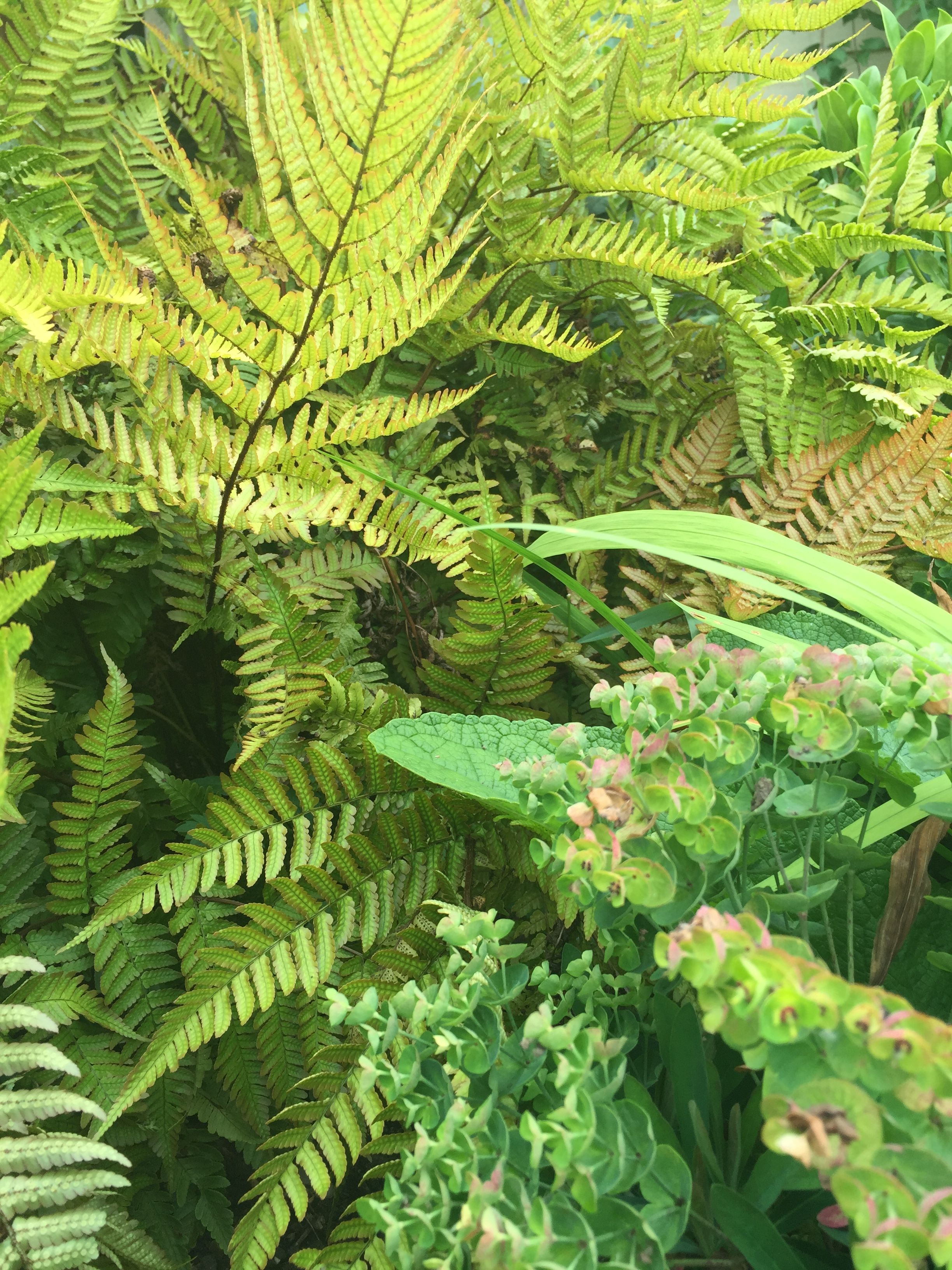 Plant ferns with other striking shade lovers such as this Euphorbia for real impact in your planting scheme.