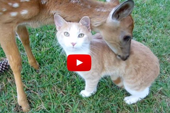Cat And Baby Deer Adopt Each Other Love Meow Animals Friendship Cute Cats And Kittens Cute Animals