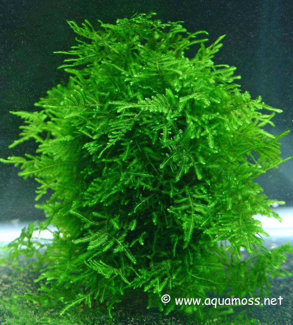 Christmas Tree Moss Aquarium: ... Moss. Info On Java Moss, Christmas Moss, Taiwan