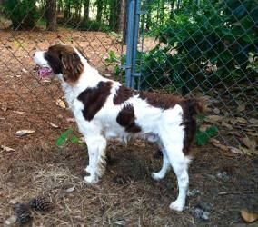 NC Remy is an adoptable Brittany Spaniel Dog in