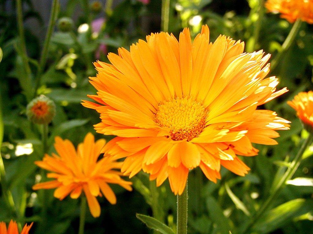 амаралисовые цветы размножение посадка и уход фото