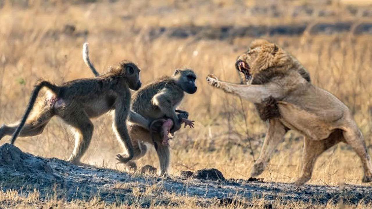 Epic Battle Of Lion Vs Monkey | Mother Monkey Save Baby ...