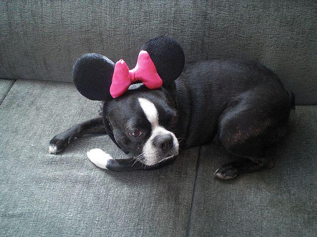 Roxy as minnie - Boston Terrier