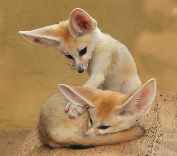 Fennec Couple Natureisfuckinglit Cute Animals Animals Animals Wild