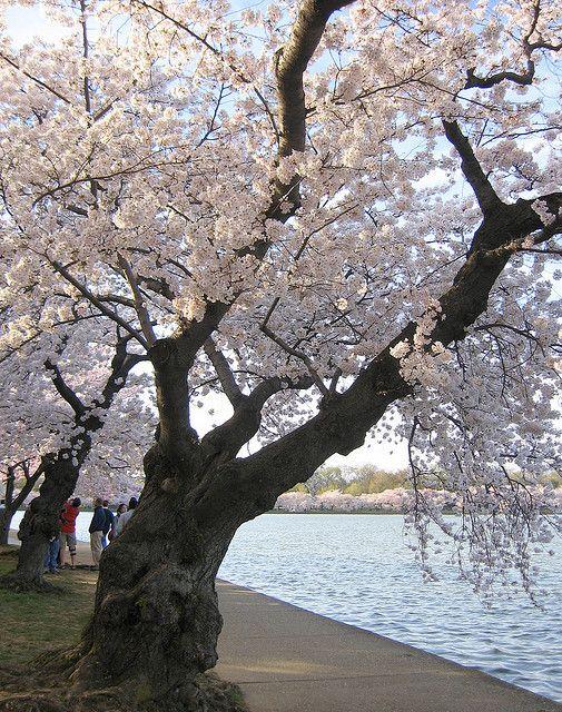 Cherry Blossoms So Beautiful Weeping Cherry Tree Sakura Tree Flowering Trees