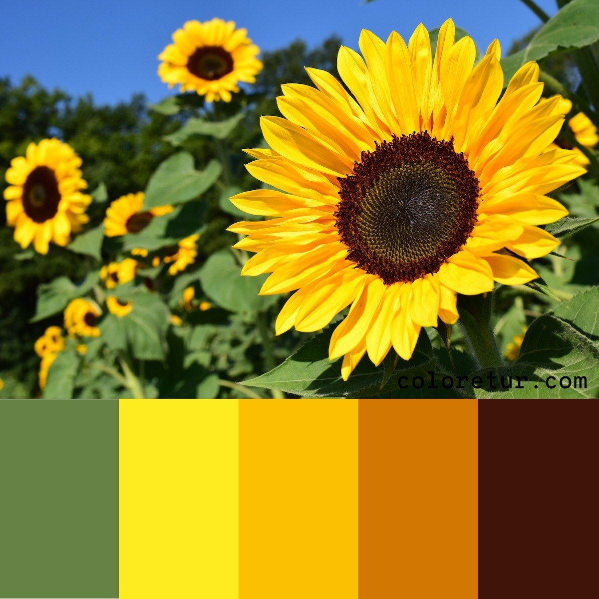 Sunflower A Bright Sunflower Makes A Vibrant Color Palette Download The Swatches Now Sunflower Colors Yellow Photography Vibrant Colors
