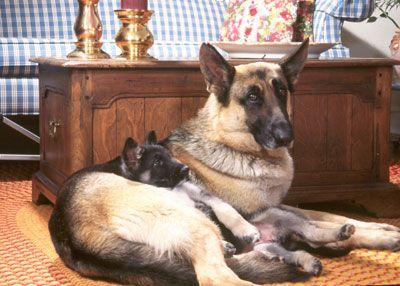 10 Things Only German Shepherd Dog Owners Will Understand German