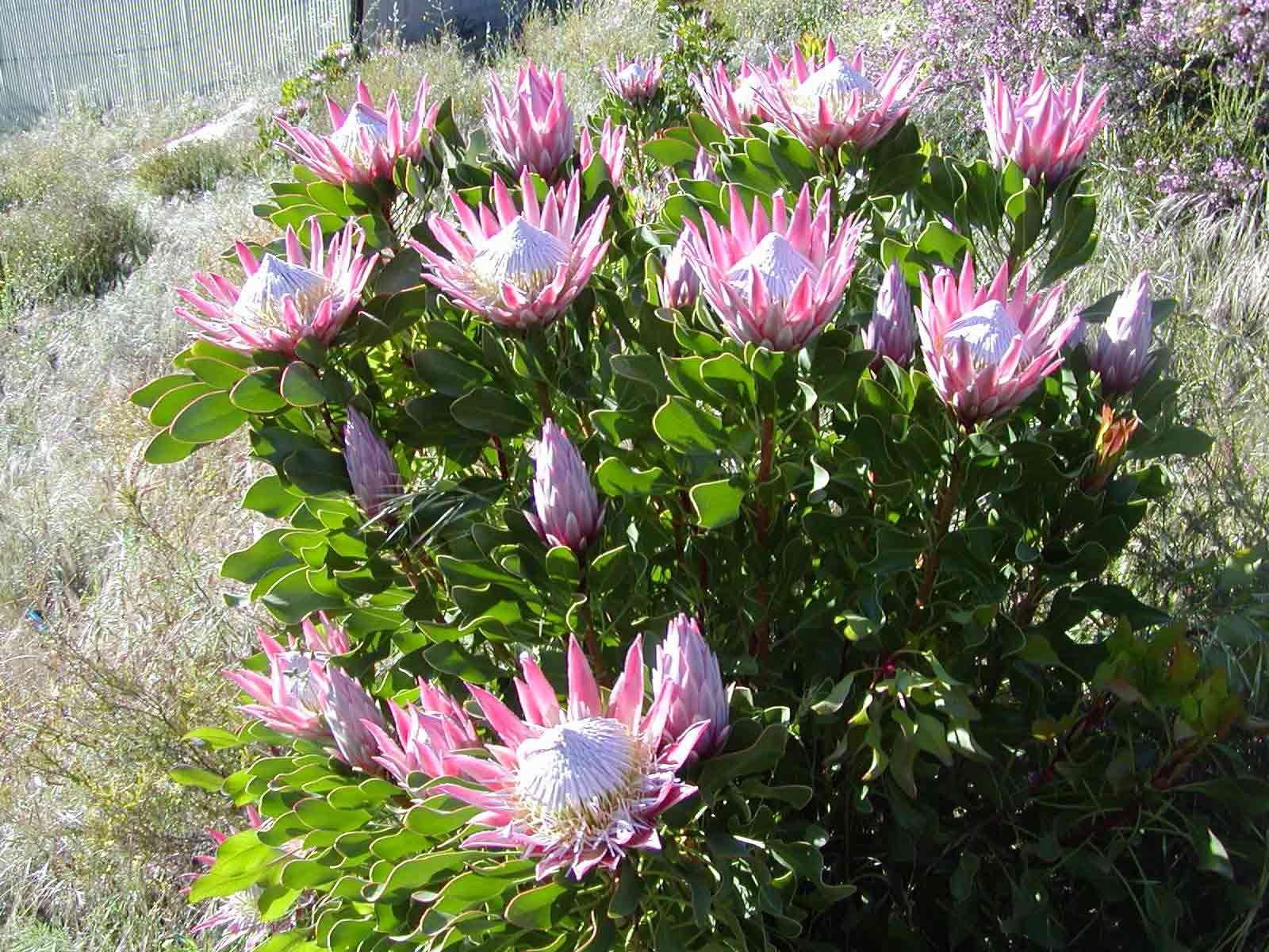 Plant Care Protea Plant Plants Australian Garden Design