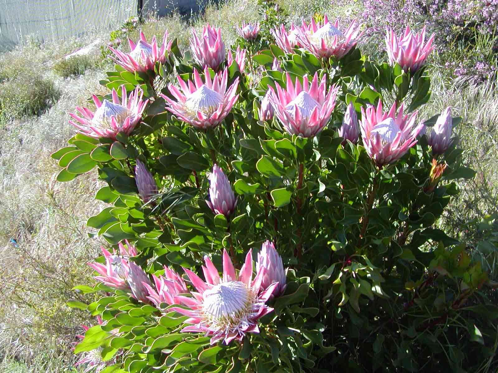Plant King Protea Resendiz Brothers California Protea Plant Australian Native Plants Protea Flower