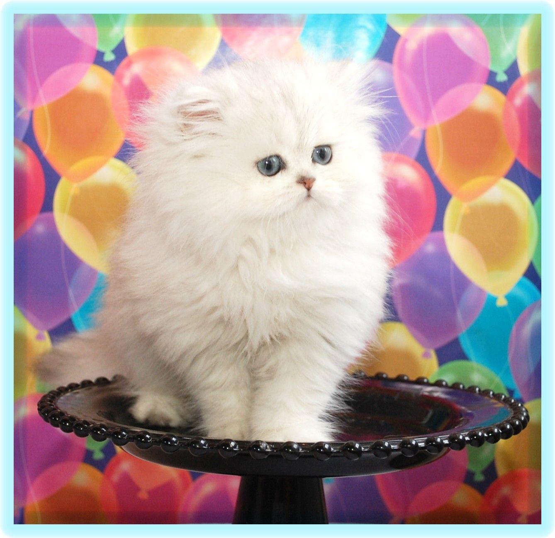 Silver Shaded Persian Animals Free credit, Pets, Cats