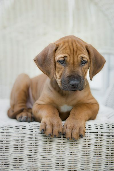 Rhodesian Ridgeback....Lion hunter! I love these dogs! They are so pretty in person.