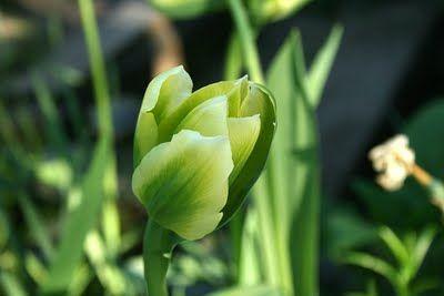 Viridiflora 'Spring Green'