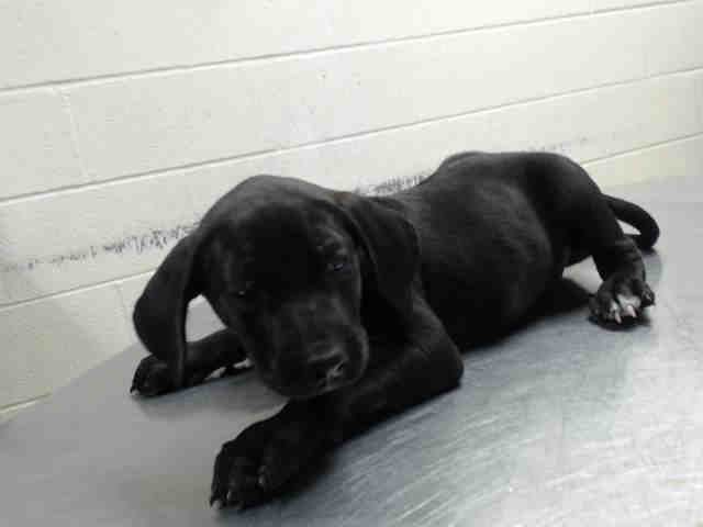 This Dog Id A463435 Located At Harris County Animal Shelter In Houston Animal Shelter Animals Humane Society