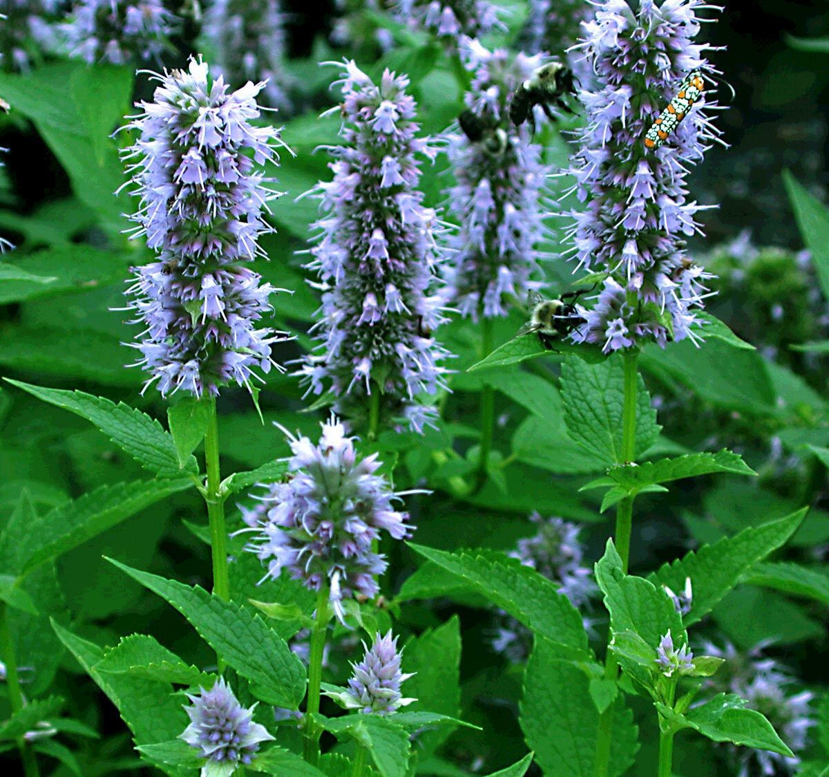 One of the easiest and most rewarding perennials to grow the award mexican hyssop partial to full sun blue flowers all summer izmirmasajfo