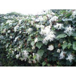 Trichosanthes kirilowii Samen, Chinagurke, Schlankenkürbis