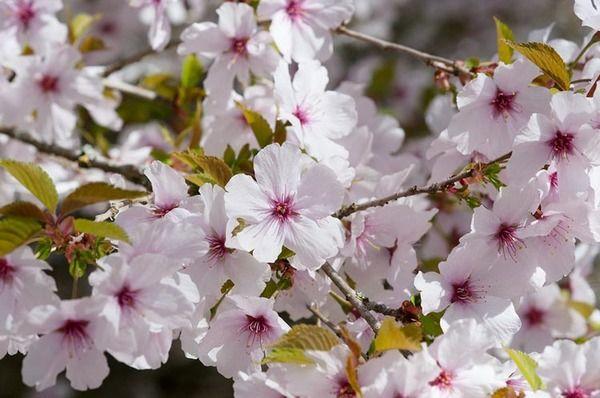 Award Winning Prunus The Bride Is A Small Rounded Deciduous Tree Boasting Pure White Single Flowering Cherry Tree Ornamental Cherry Cherry Tree Varieties