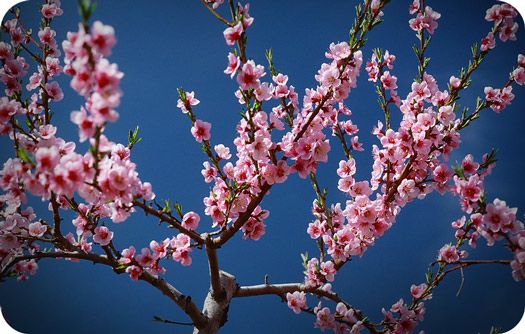 Cherry Blossom Symbolism And Meaning Growing Cherry Trees Flowering Cherry Tree Japanese Cherry Tree