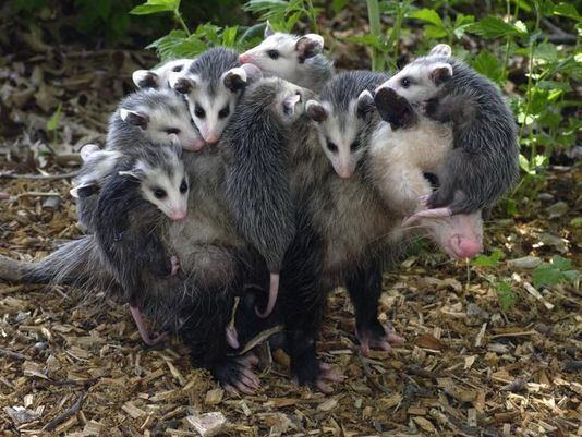 possum carrying babies - Bing images A N I M A L Animals