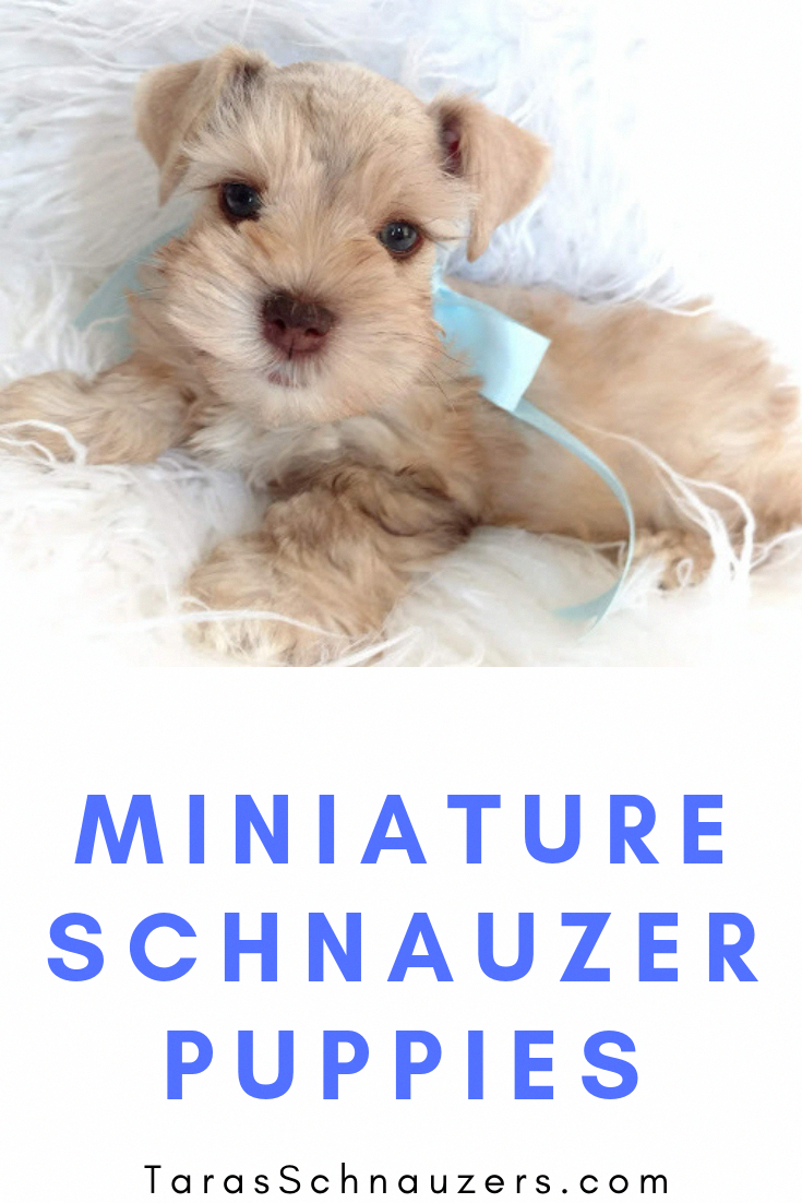 Pin By Jacqueline Irish On Simply Adorable Miniature Schnauzer Puppies Schnauzer Puppy Puppies