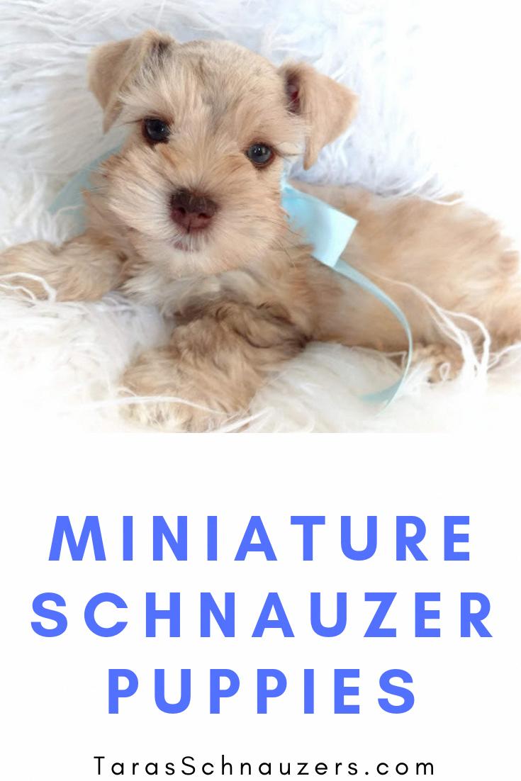 Pin By Jacqueline Irish On Simply Adorable Miniature Schnauzer Puppies Schnauzer Puppy Puppies