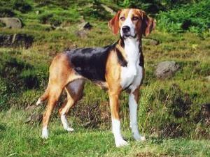 This Is A Hamiltonstovare Big Beagle Dog Breeds