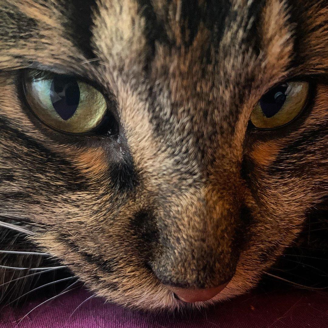 American Bobtail cat . . . . Americanbobtail instacat