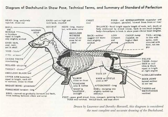Dachshund Conformation Dog Anatomy Dog Skeleton