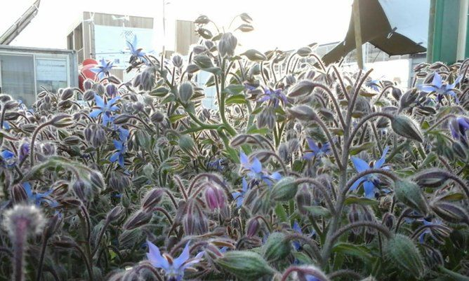 Borage is one of the edible plants you can grow in your garden