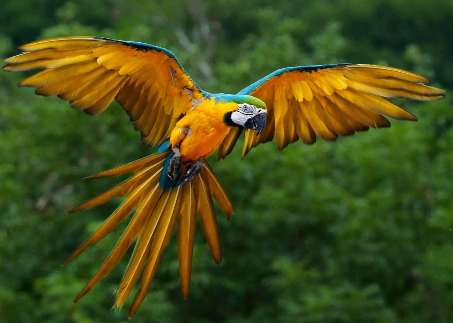 Amazon Rainforest Birds The endangered Blue and Yellow