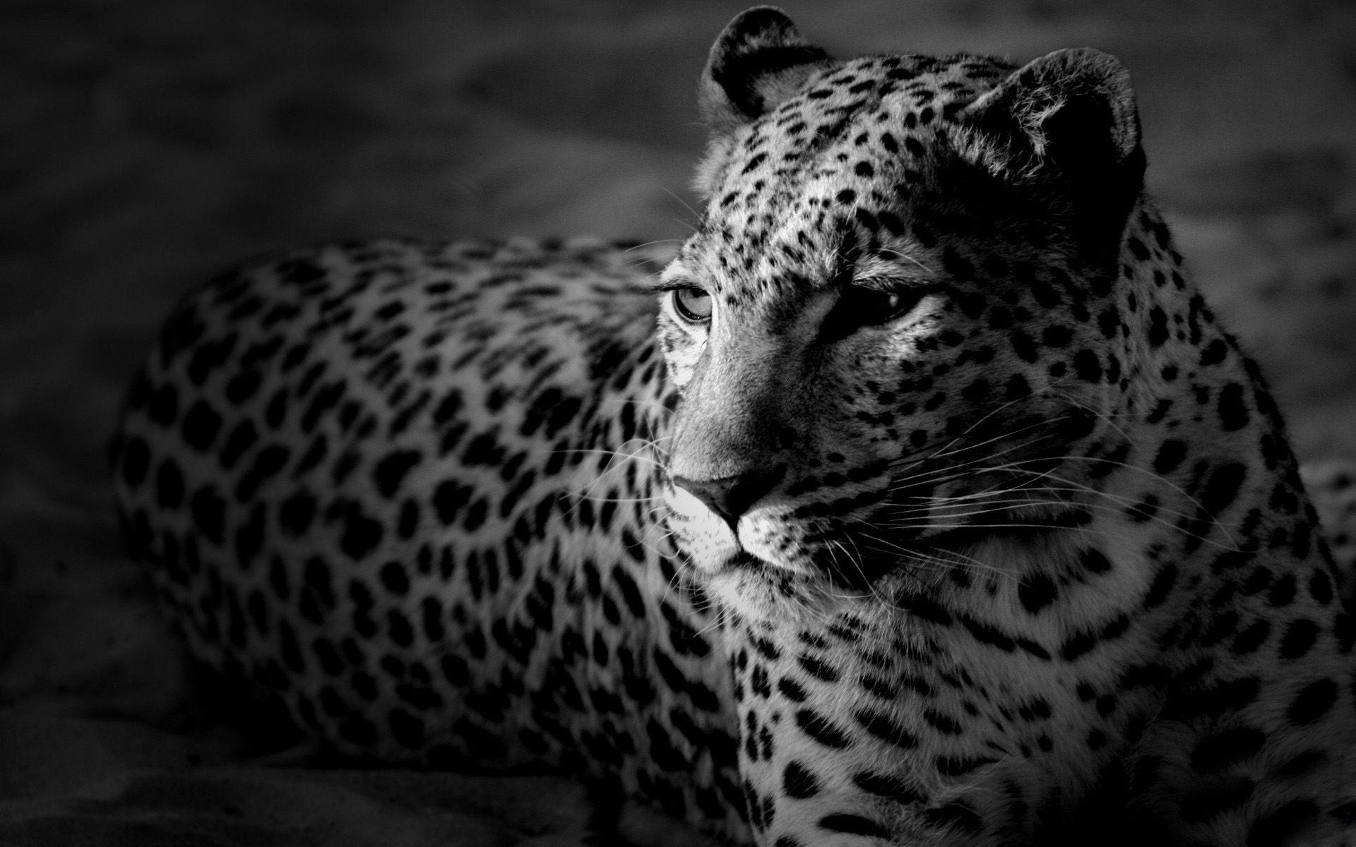 Leopard Fond D Ecran Noir Et Blanc Jaguar Noir Animales