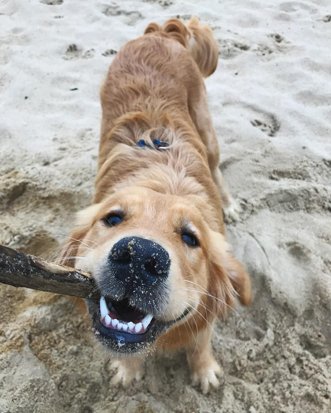 Adorable Golden Retriever Playing With A Stick In The Beach